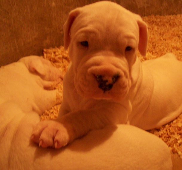 DOGO ARGENTINO I DEO Litter-c-foto_10662862_17438377_18637568