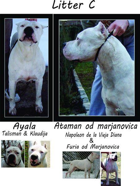 Dogo Argentino stenci Litter-c-foto_10662862_17438377_18662752