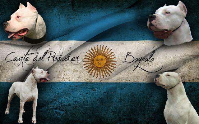 Dogo Argentino stenci 19046900