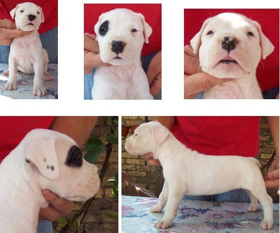 Dogo Argentino stenci 19144661