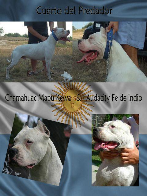 Dogo Argentino stenci 19146869