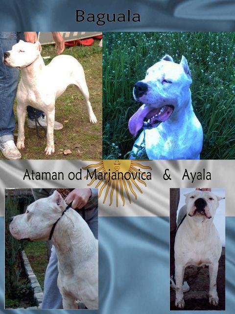 Dogo Argentino stenci 19152338