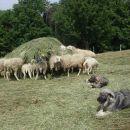 Ara & Zana in ovčja idila