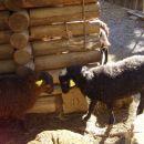 ovčki