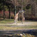 žirafi