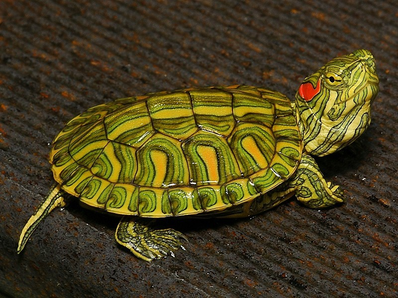 Side View Images Of Painted Turtles