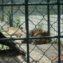 Lev in levinja sta se odločila za počitek