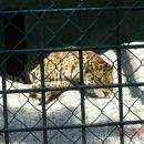 Leopard počiva