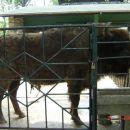 Velik bizon