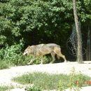 Volk gre na kosilo