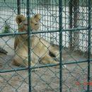 Pozorna levinja