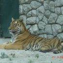 Lepa slika tigra