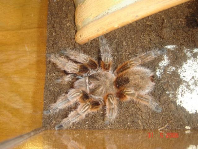 Pajek- grammostola rosea (rcf) - foto