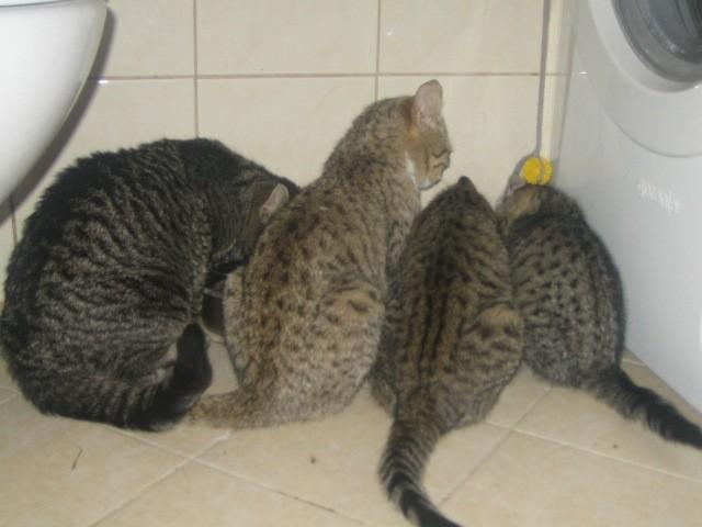 Vsaka ima svoj faktor....moji tigri in tigrice - vsi v novih domovih.