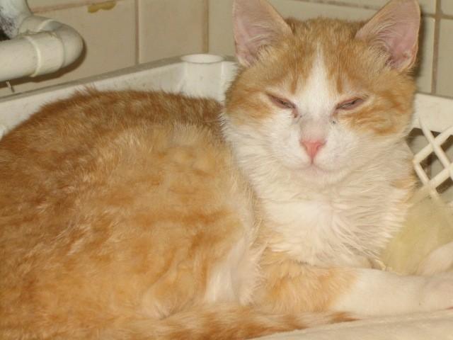 Oranžko, star pol leta, kastriran, cepljen, išče dom.