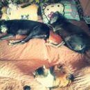 greyhounda Angie in Bonzo; 15.4.2015