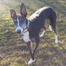 greyhound Bertie; 16.4.2015