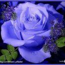 Modra vrtnica