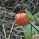volčje jabolko