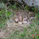 Jajčka ruševke ob poti