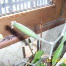 Falenopsis -oprašen
