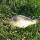Krap usnjar pri ribniku Ribiške družine Vrhnika