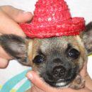 jaz sem mali mehiški kuža ...