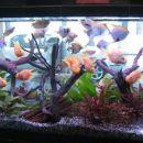 Razstvni akvarij - Blood Parrot, Skalarke, Nitkarji, Pelvicacromis P., Corydorydoras...