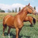 Konj-Fičur