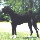 Simphony of Earth Forever - Male Great Dane