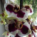 Domače orhideje