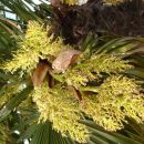 Cvetoča palma