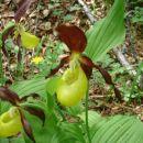 Največja evropska orhideja