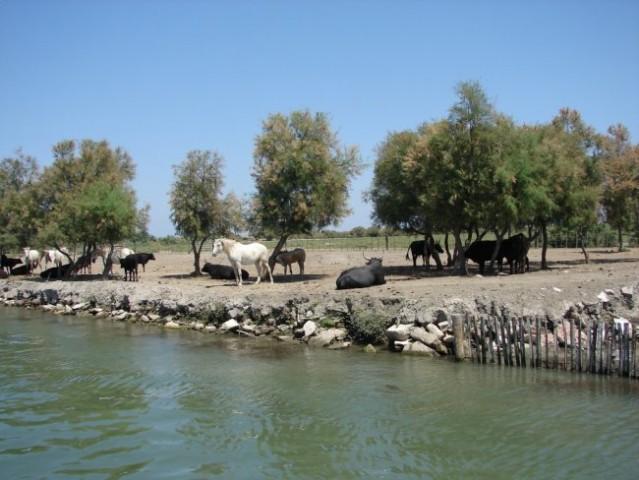 Provanca- pol divji konji in biki