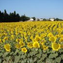 Provanca - polje sončnic