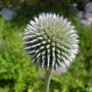 Alpsko cvetje