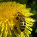 Regrat - čebela