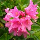 Rože - Golica