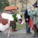 Priganjanje ogromne krave