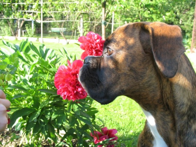Kako pa ta rožica diši