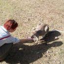 hranjenje kengurujev