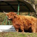 Pravi ameriški bizon :)