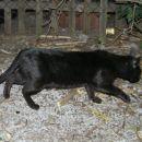 Mura, odrasla samica, verjetno ima mladičke (stare manj kot mesec)