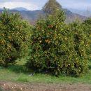 Nasadi mandarin