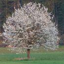 cvetočo drevo
