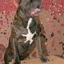 Cane dogo