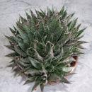 kaktusi