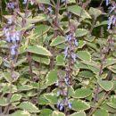 Pokončna moljevka. Cveti vso leto in se v koritih preveša. Lepo uspeva tudi v gredah.