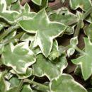 Pisanolistna pelargonija, belo cveti, rast kot pri navadni viseči.