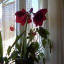 Amarilis cveti 4. leto